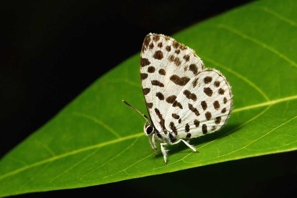 Lesser Forest Blue or Forest Pierrot (Taraka hamada, Lycaenidae)