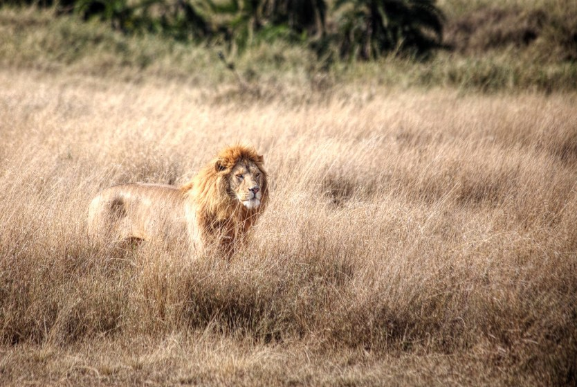 The King of the Serengeti