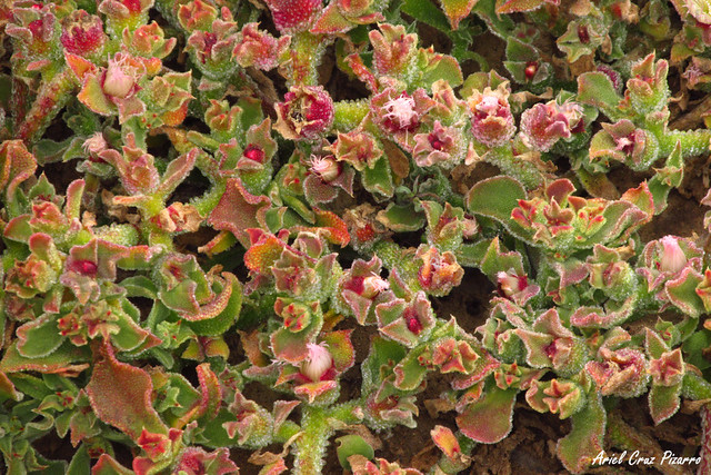 Suculenta - Desierto Florido