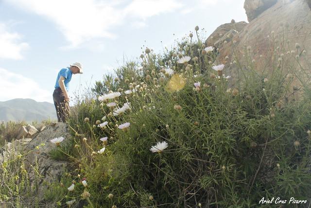 Flor del minero (Centaurea chilensis) - Desierto Florido