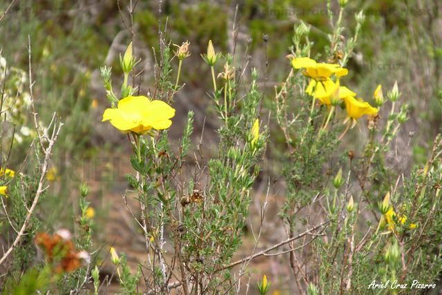 Amancay (Balbisia peduncularis) - Desierto Florido