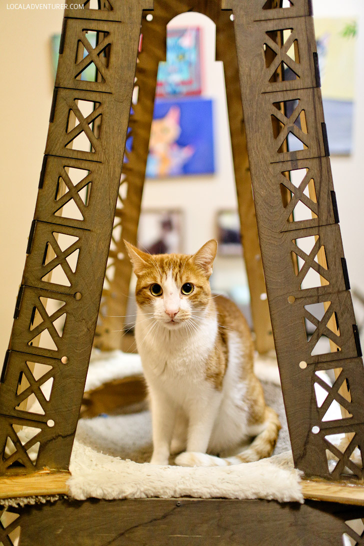 Adopt Cats from the San Diego Humane Society at the Cat Cafe San Diego.