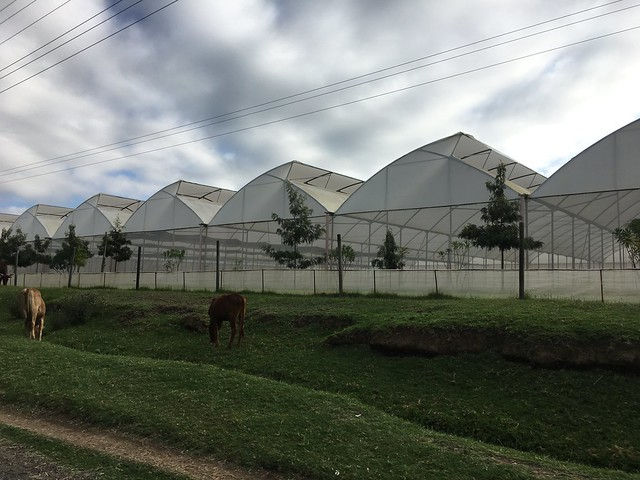 Flower farm in Naivasha