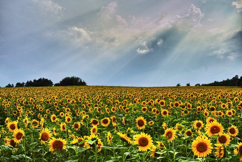 Himawari Sunflowers