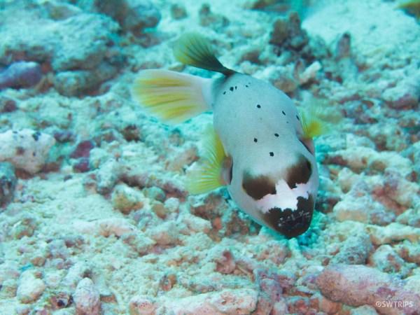 Puffer Fish, Rainbow Reef, Fiji