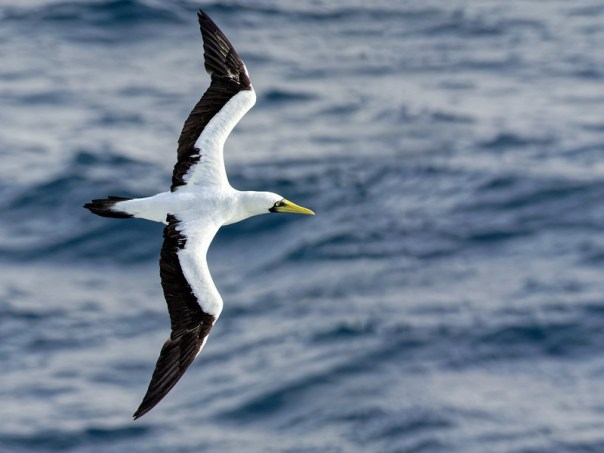 Masked Booby in flight