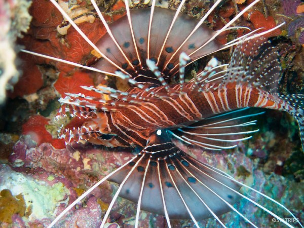 Lion Fish, Great Barrier Reef