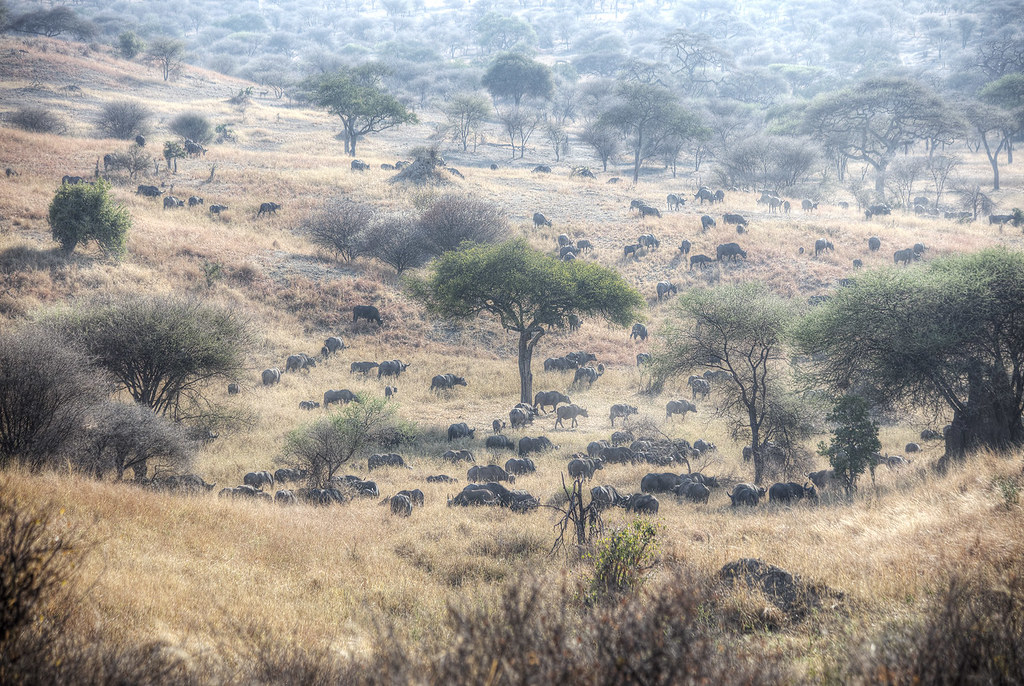 A glimpse of the herds in Tarangire National Park.
