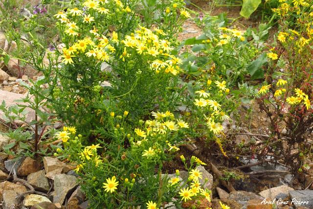 Desierto Florido - Senecio Myriophilus
