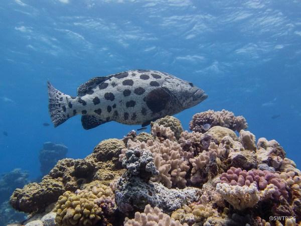 Potato Cod, Great Barrier Reef