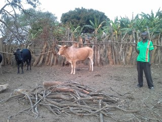 The two cattle Stephen bought with proceeds from his farm Photo credit: CIMMYT