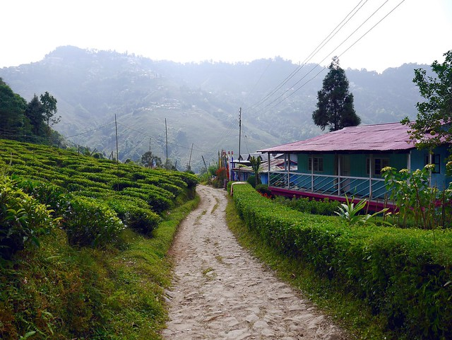 A Walk through the Lanes and Tea Fields of Darjeeling