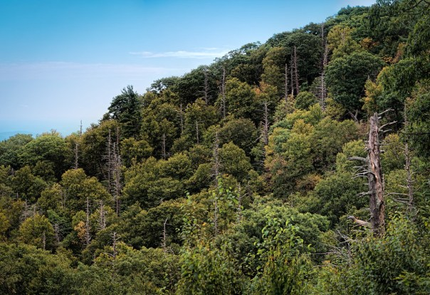 Dead eastern hemlock trees