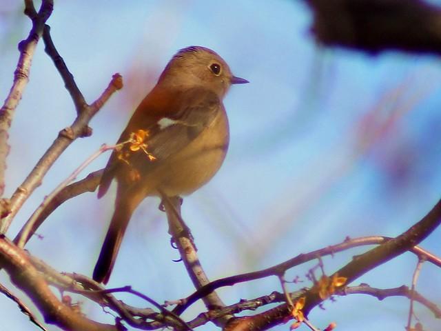 Daurian redstart female (ジョウビタキ)