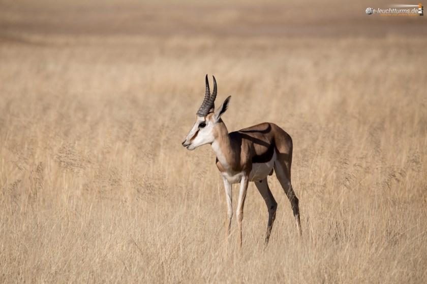 Springbok (Antidorca)
