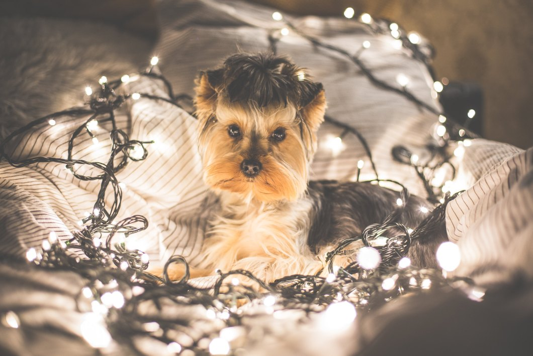Imagen gratis de un perro chihuahua