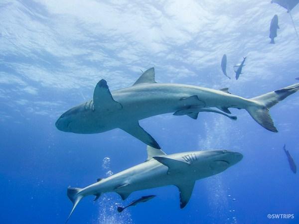 Sharks! Great Barrier Reef