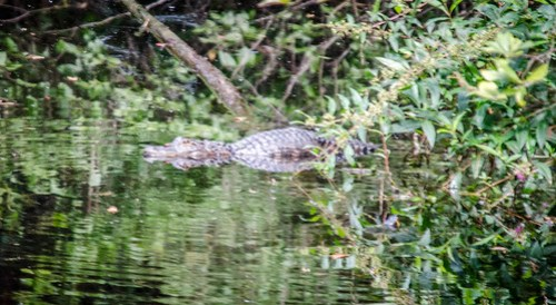 Alligator at Woods Bay