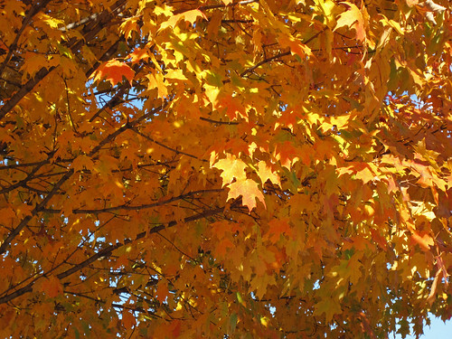 Acer saccharum (sugar maple tree in fall colors) (Newark campus of Ohio State University, Newark, Ohio, USA) (23 October 2015) 2