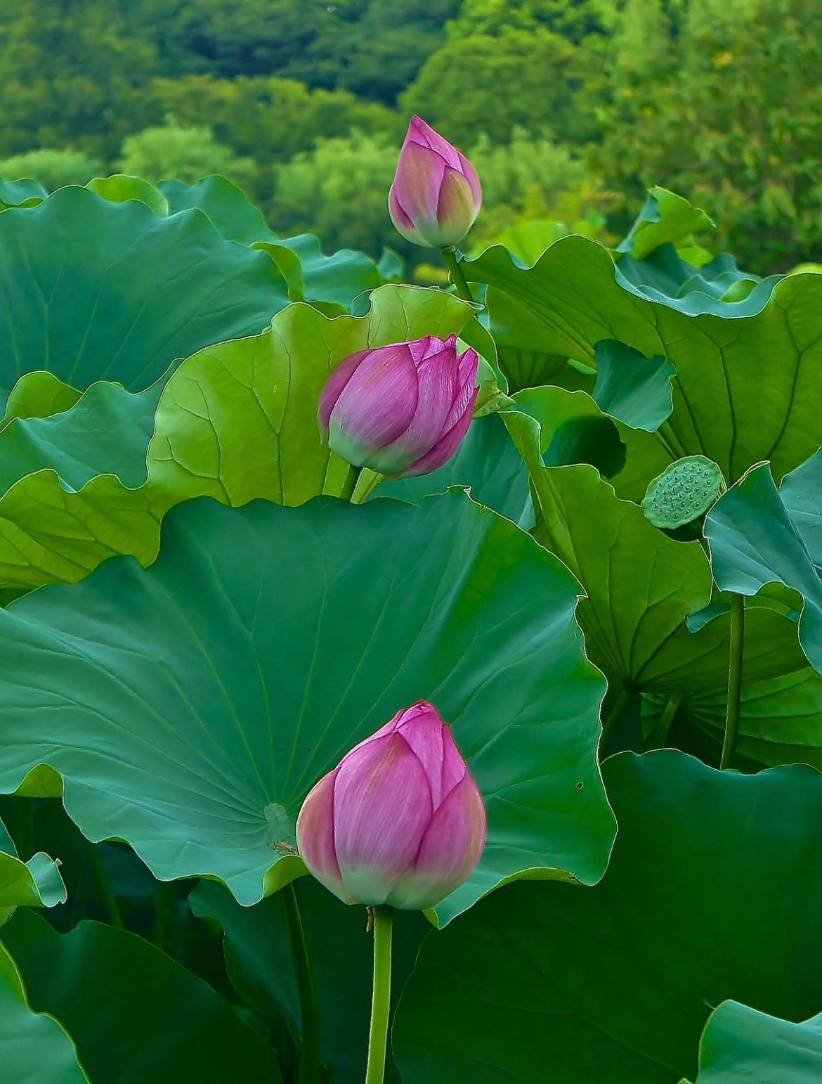 Lotus flowers at Shinobazu Pond