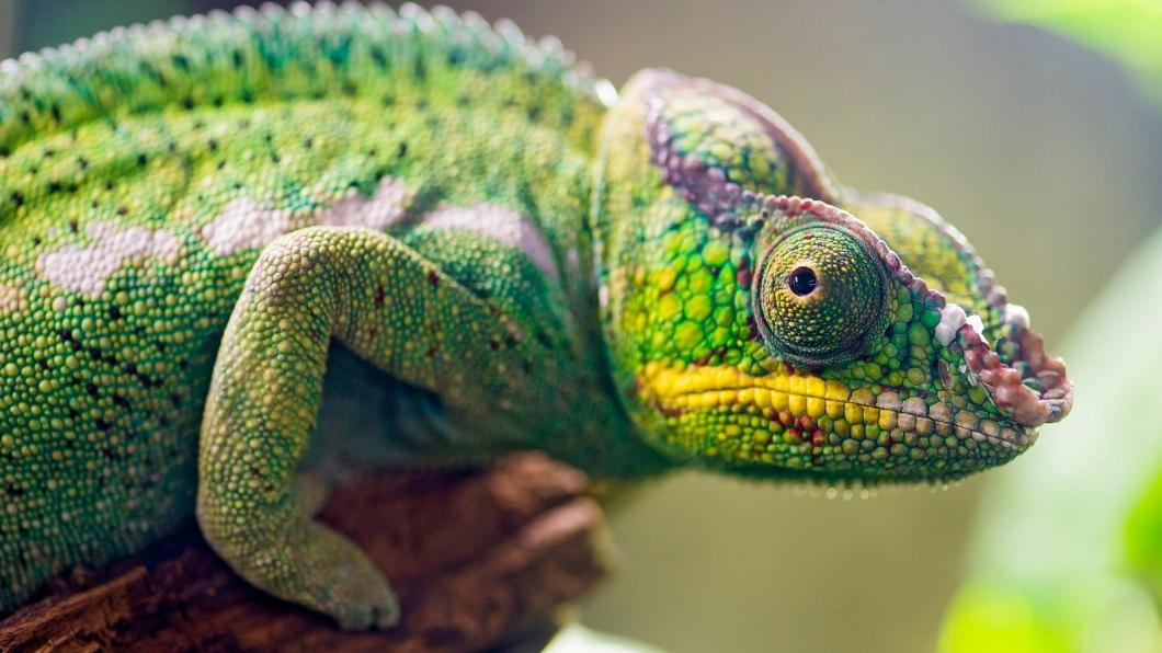 Imagen gratis de un camaleón
