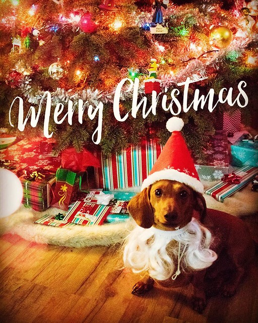 Merry Christmas from @mrbigthedoxie ! #mrbig #dachshund #doxie #weeniewithaweenie #christmasweenie