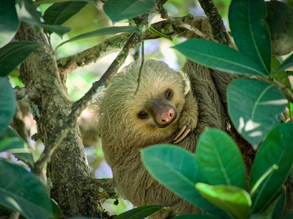 Sleepy Sloth