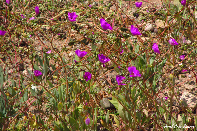 Pata de Guanaco (Cistanthe cachinalensis) - Desierto Florido