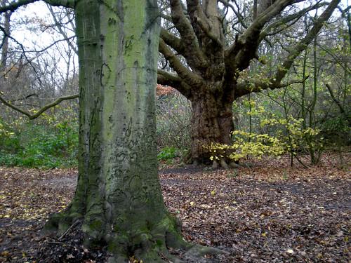 beech and oak