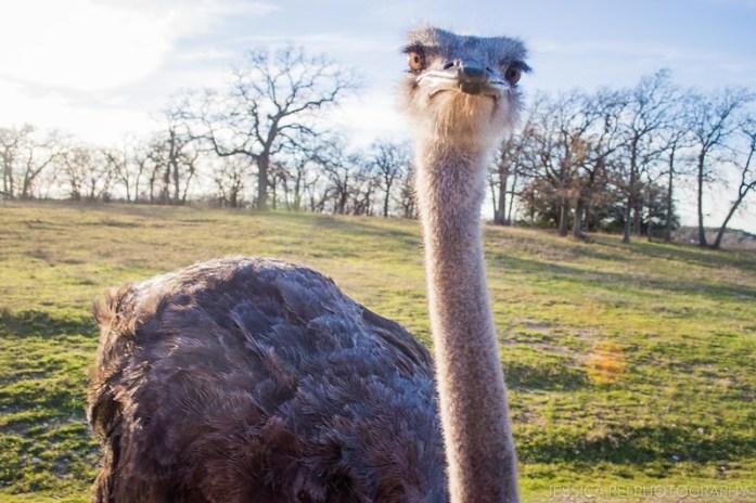 Fossil Rim Wildlife Center Ostrich