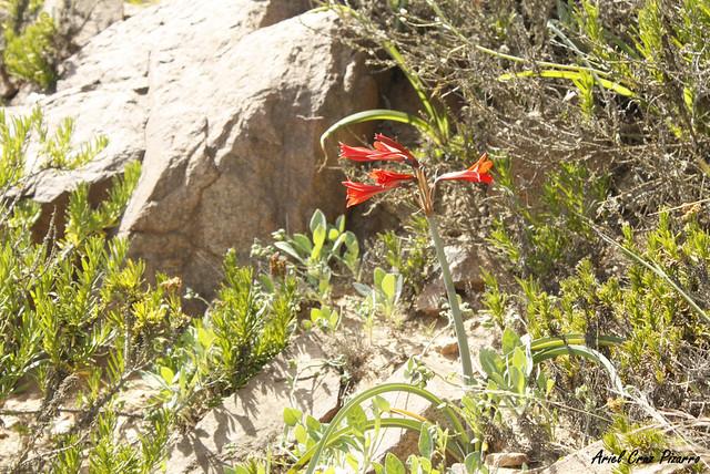 Añañuca de fuego (Phycella ignea) - Desierto Florido