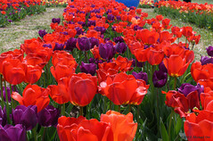 Burnside Farms Tulip Celebration