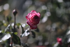 Une rose... Morose...