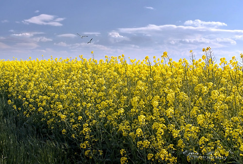 rape field, spring, yellow