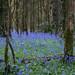 Charleville Forest Bluebells