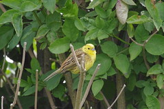 "Yellowhammer • <a style=""font-size:0.8em;"" href=""http://www.flickr.com/photos/144734951@N08/47084815104/"" target=""_blank"">View on Flickr</a>"