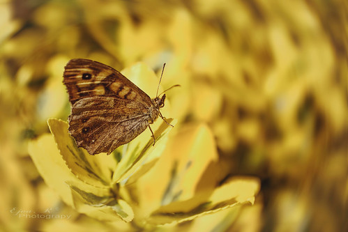 Butterfly yellow leaves
