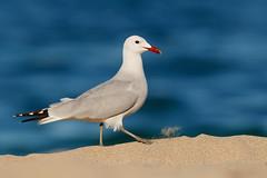 Audouin's Gull | rödnäbbad trut | Ichthyaetus audouinii