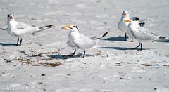 SONY-ILCE-A9, Royal Tern's, DSC01916 , 1-4000 , f-8, ISO 400, 100-400@424mm