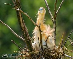 Squacco heron, juvenile (Ardeola ralloides)-8470