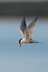 Common Tern | fisktärna | Sterna hirundo