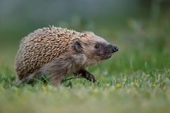 Western European Hedgehog | igelkott | Erinaceus europaeus