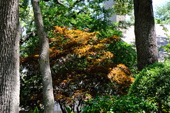 Japanese Maple Tree(1)