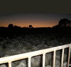 Sheep on Facebook