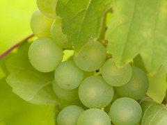 Natuur, druiven.014