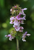 Photo:Stachys aspera var. hispidula  イヌゴマ By