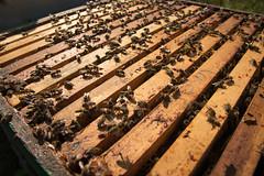 Wabenrähmchen eines Bienenstock unter der Abdeckung