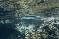 Garfish (Belone belone)