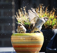 Sparrow bath time