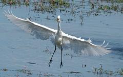 Happy Landing. Great White Egret (Egrets 2 of 6)